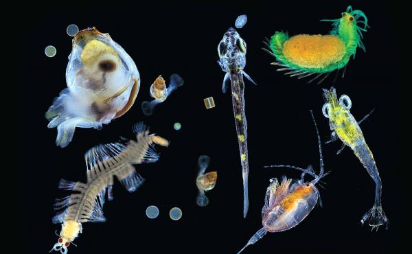 Plankton collected in the Pacific Ocean with a 0.1mm mesh net. Seen here is a mix of multicellular organisms — small zooplanktonic animals, larvae and single protists (diatoms, dinoflagellates, radiolarians) — the nearly invisible universe at the bott