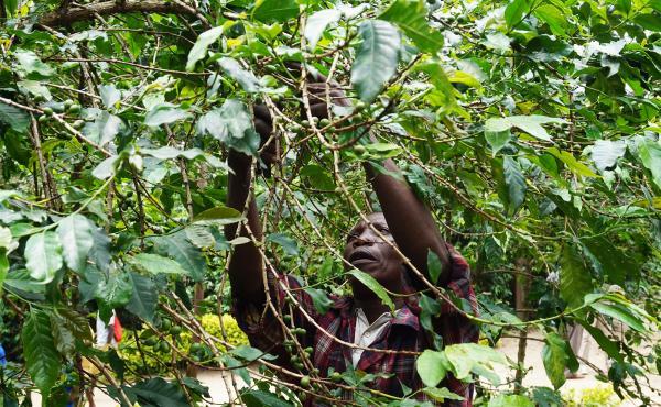 Emmanuel Baziruwile, 54, works at a coffee plantation in Cyimbiri, Rwanda.