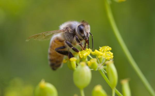 Honeybees are vulnerable to the kind of pesticide sprayed in Dorchester County, but hives — at least those maintained by beekeepers — could have been protected, by the timing of the spraying or by physical barriers. They weren't, and millions of bees