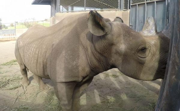 Eric, an endangered eastern black rhinoceros, was born and bred at the San Diego Zoo Safari Park. He was recently transported to a wild animal reserve in Tanzania where he will be eventually released.