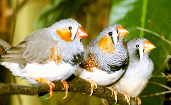 "Recent research has shown that zebra finches sing differently when drunk, but not whether they know enough of the lyrics to get through ""I Will Survive"" or ""Don't Stop Believin'."""