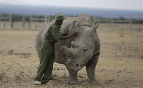 Keeper Zachariah Mutai attends in March to Fatu, one of only two female northern white rhinos left in the world, in the pen where she is kept for observation, at the Ol Pejeta Conservancy in Laikipia county in Kenya. Scientists have successfully grown hyb
