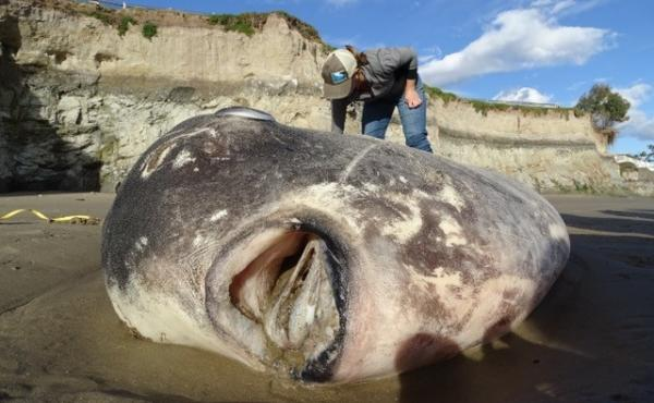 The animal, identified as a hoodwinker sunfish, washed up on a shore last week at UC Santa Barbara's Coal Oil Point Reserve.