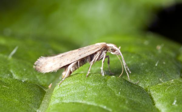 The destructive diamondback moth has spread across the world and mutated to become immune to each new chemical pesticide designed to slay it.