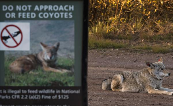 This coyote was one of several collared by wildlife biologists monitoring their behavior in the Bay Area headlands.  Authorities are trying to catch an unusually bold coyote in the East Bay responsible for  attacks on humans.