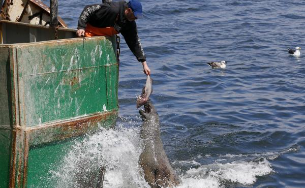 A fisherman holds out a fish for a seal off of a boat owned by Carlos Rafael in New Bedford, Mass. Rafael was the biggest fishing magnate in America's most lucrative port. As he faces sentencing for a scheme to cheat fishing quotas, many worry about the f