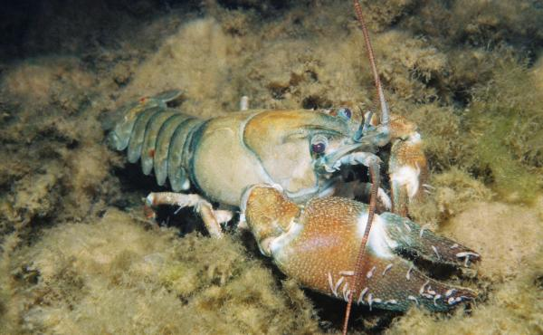 Signal crayfish in Lake Washington in Gene Coulon. This crayfish has several branchiobdellida annelida attached to it.