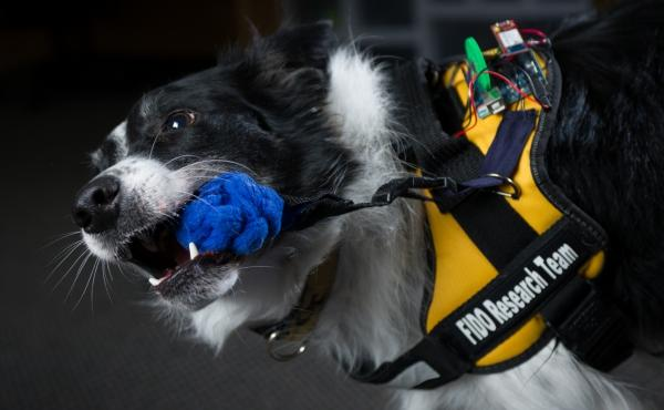A dog named Sky activates the tug sensor on the FIDO vest. The vest is a piece of wearable technology designed to allow working dogs to perform more tasks and communicate more information.