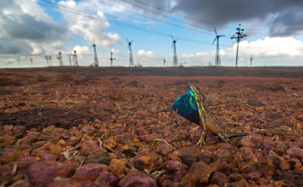 A fan-throated lizard displays his dewlap sac in front of Asia's largest wind farm in the Western Ghats mountains of India. The construction of the windmills altered the habitat of the lizards dramatically.