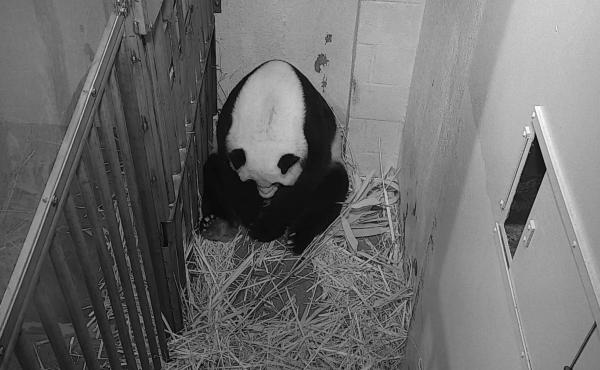 Giant panda Mei Xiang is seen after giving birth to a cub Friday at the National Zoo in Washington.