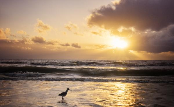 View of a Willet bird in the foamy water in front of the setting sun at Fort Myers Beach, Fla., in winter.