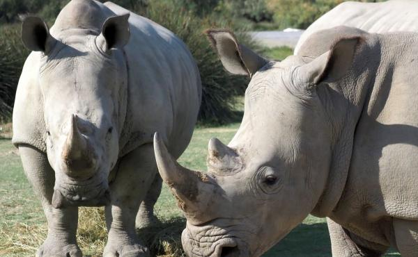 Rhino horns are prized in Asian countries and can garner tens of thousands of dollars per pound. Wildlife conservationists argue that the appetite for the endangered species' appendage in legal and illegal markets has decimated the population across Afric