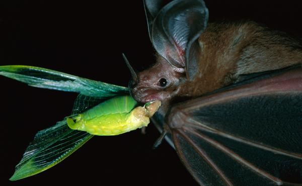 """A white-throated round-eared bat (Tonatia silvicola) catches — and munches — a katydid on Barro Colorado Island in Panama. Katydids are """"the potato chips of the rain forest,"""" scientists say."""