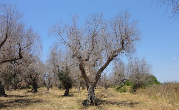 "A deadly bacterium, xylella fastidiosa, has killed millions of olive trees in southern Italy. One of the hardest-hit areas is Lecce province in the Puglia region (pictured here). Xylella, which has no cure, ""is almost like the coronavirus of olive trees,"""