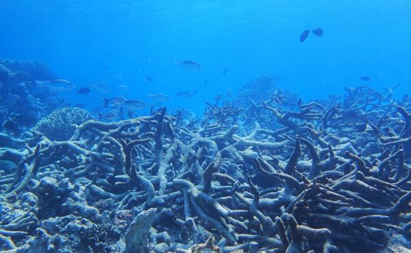 Graveyard of Staghorn coral, Yonge reef, Northern Great Barrier Reef, October 2016.