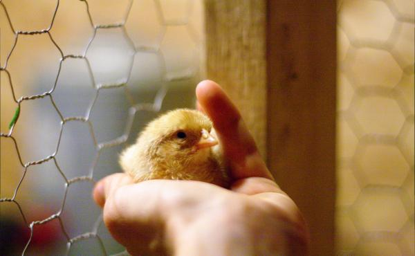 This chick will live. It's female.