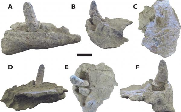 "A new study of Deinosuchus or ""terror crocodiles,"" led by Adam Cosette, offers a fuller picture of the ancient creature from head to tail. Cossette said Deinosuchus had large, robust teeth, ranging from six to eight inches long, as shown in the photo."