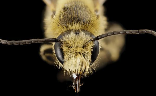 Melitta americana, a cranberry-loving bee from Georgia.
