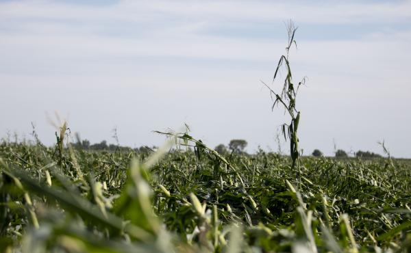 Corn plants are shown pushed over in a storm-damaged field on August 11 in Tama, Iowa. Iowa Gov. Kim Reynolds said that early estimates indicate that 10 million acres, or nearly a third of the state's crop land, was damaged in a powerful storm that batter