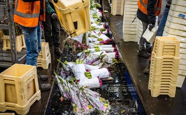 Flowers are being destroyed at the flower auction in Aalsmeer, Netherlands, on March 16, 2020. The Dutch horticultural sector is sounding the alarm about the effects of the coronavirus crisis. Due to the loss of demand, the auctions are struggling with lo