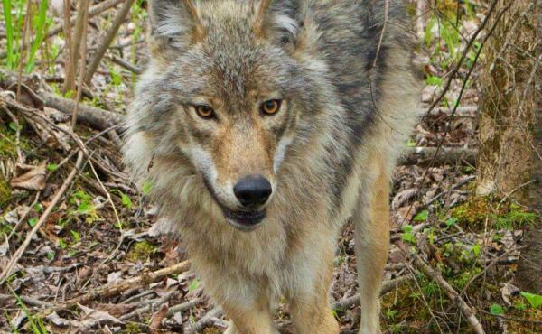 New research at Voyageurs National Park is challenging the conventional wisdom on wolves: Their diets are a lot more varied than previously thought.