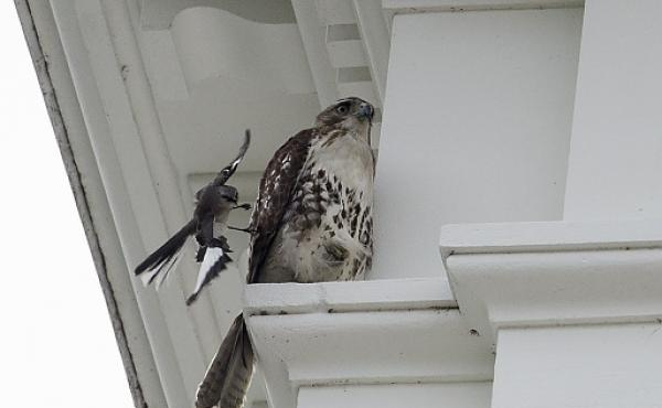 A bird seemingly attacks a hawk sitting on a ledge of the White House on May 19.