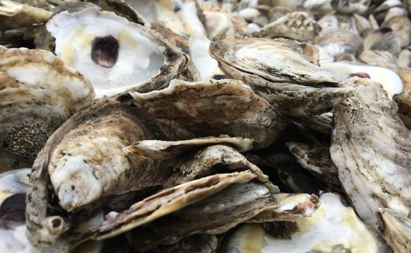 Researchers are using underwater microphones to help better understand the extensive array of animals living in oyster reefs.
