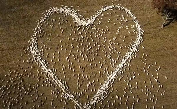 In this image taken from video, sheep form the shape of a heart in a field in Guyra, northern New South Wales, Australia, Thursday, Aug. 5, 2021.