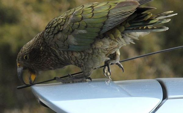 A kea parrot picks at the antenne of a vehicle in New Zealand.