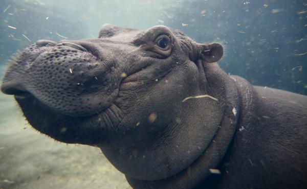Baby Fiona plays in her enclosure at the Cincinnati Zoo & Botanical Garden.