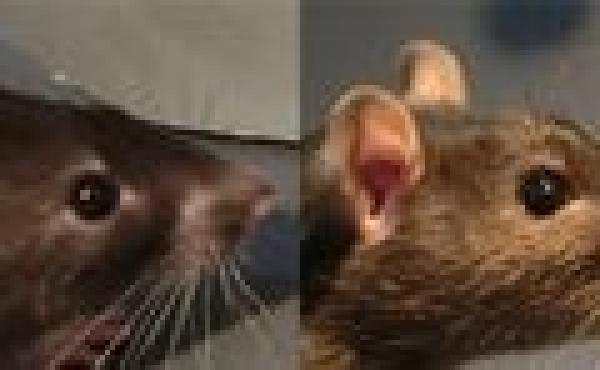 """Rats experiencing positive emotions showed a more """"relaxed"""" ear angle, such as the one on the left, compared to the control group, such as the rat on the right."""