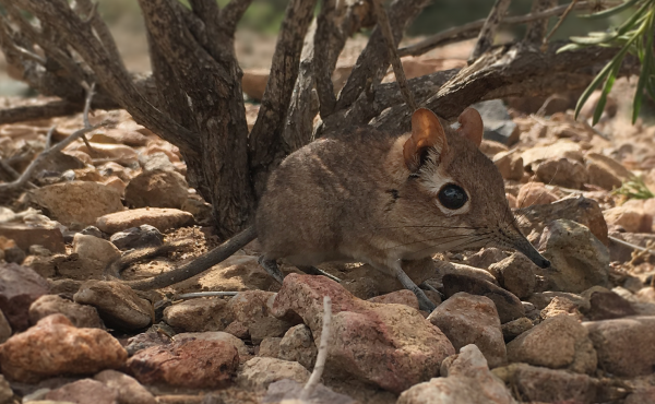 Researchers have spotted the Somali sengi, a relative of aardvarks and elephants, in Djibouti.