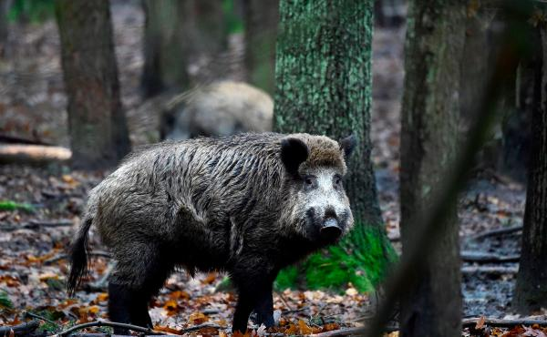 A wild boar at at an enclosure set up by forest rangers in a northwestern district of Berlin in 2017. Denmark is building a $12 million fence in an effort to keep out wild boars from Germany.