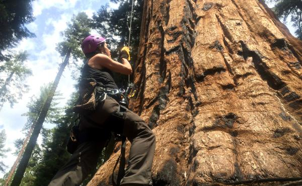 UC Berkeley tree biologist Wendy Baxter is about to begin her ascent of a giant sequoia.