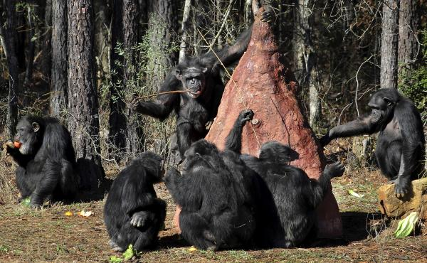 Chimps use sticks to poke into a mock termite mound to taste a sweet substance placed in the mound by keepers at Chimp Haven in Keithville, La. Today, caretakers say, more chimps in the U.S. live in accredited animal sanctuaries than in research facilitie