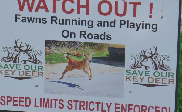 "As part of a national plan reassessing the status of animals and plants on the Endangered Species List, the U.S. Fish and Wildlife Service has recommended that Key Deer be ""delisted due to recovery."""