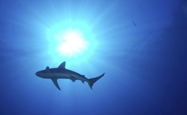A shark swims off the coast of Midway Atoll on the northern edge of the Papahanaumokuakea Marine National Monument in Hawaii. The Trump administration plans to consider reversing the designation of some marine sanctuaries.