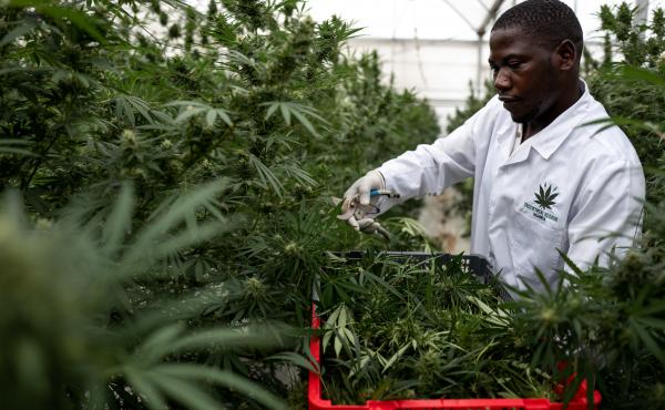 A worker picks Cannabis inside a greenhouse on Nov. 10, in Kasese, Uganda. Uganda is one of several African countries looking to produce medical cannabis for export to Europe and America. On Wednesday, the U.N. Commission on Narcotic Drugs voted to reclas