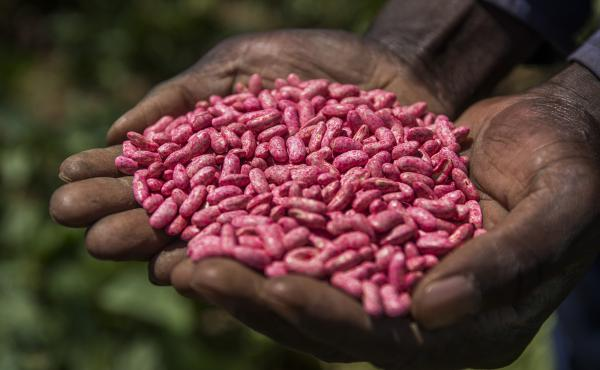 A farmer handles a bag of Syngenta's bean seeds on a farm near Johannesburg, South Africa.