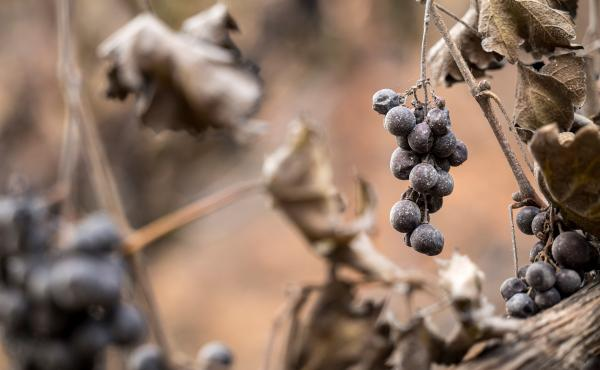 Ash covered grapes burned by the Glass Fire at the Chateau Boswell winery in St. Helena, California, U.S., on Monday.