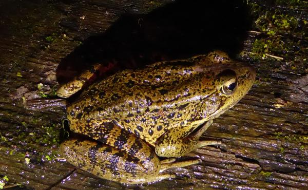 Scientists in California are turning to big data to help save the red-legged frog, which is listed as threatened under the Endangered Species Act.
