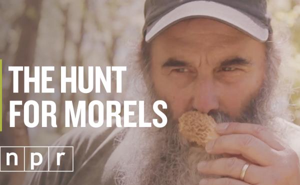 Nick Spero hunts for morel mushrooms somewhere in Maryland...