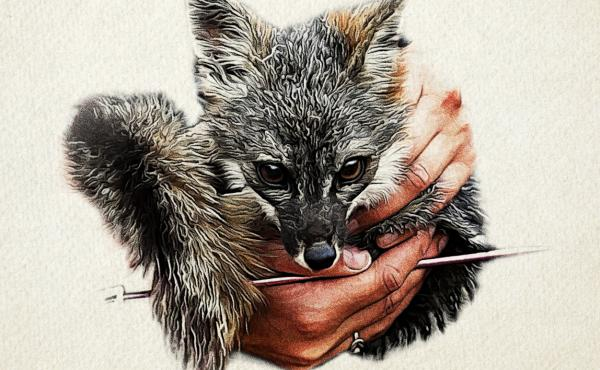 An island fox, trapped by a Nature Conservancy biologist, undergoes a quick check-up before being released.