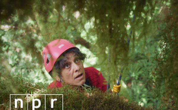 Nalini Nadkarni climbs a big leaf maple tree in Olympic National Forest in Washington.
