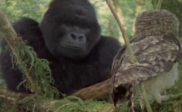 Screen shot from a YouTube video clip from the film Mountain Gorilla: A Shattered Kingdom.
