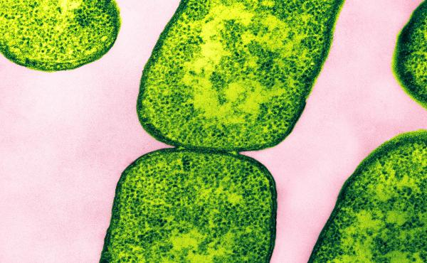 """Color enhanced Transmission Electron Micrograph (TEM) of E. coli bacteria. Magnification: 132,000 at 8 x 10""""."""