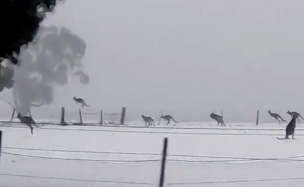 Kangaroos frolic in the Australian snow.