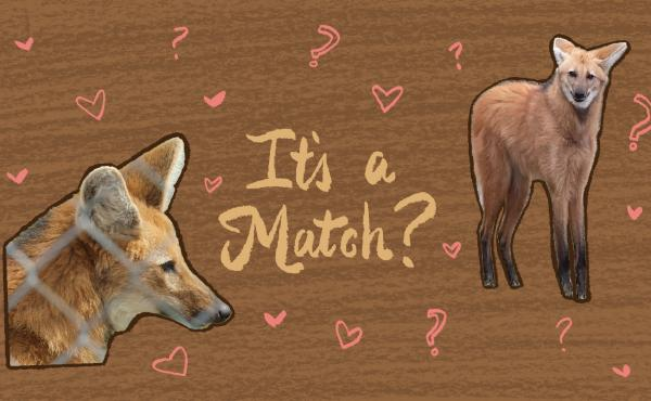 Tinder for wolves? The survival of the Maned wolf may depend on the science of matchmaking.