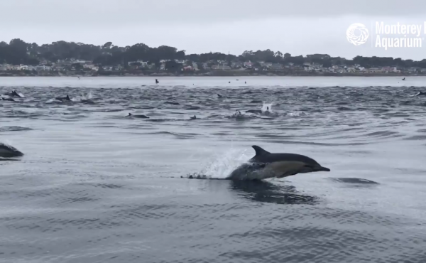 """A """"superpod"""" of dolphins was spotted swimming in California's Monterey Bay this week."""