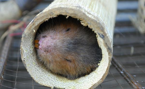 Bamboo rats are among the wild animals farmed for food in China and other parts of Asia. A member of the World Health Organization team investigating the coronavirus pandemic says its report will conclude that such animal farms are likely the place where